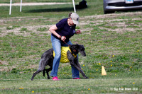 Scottish Deerhound Prelims